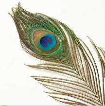 Peacock feather1